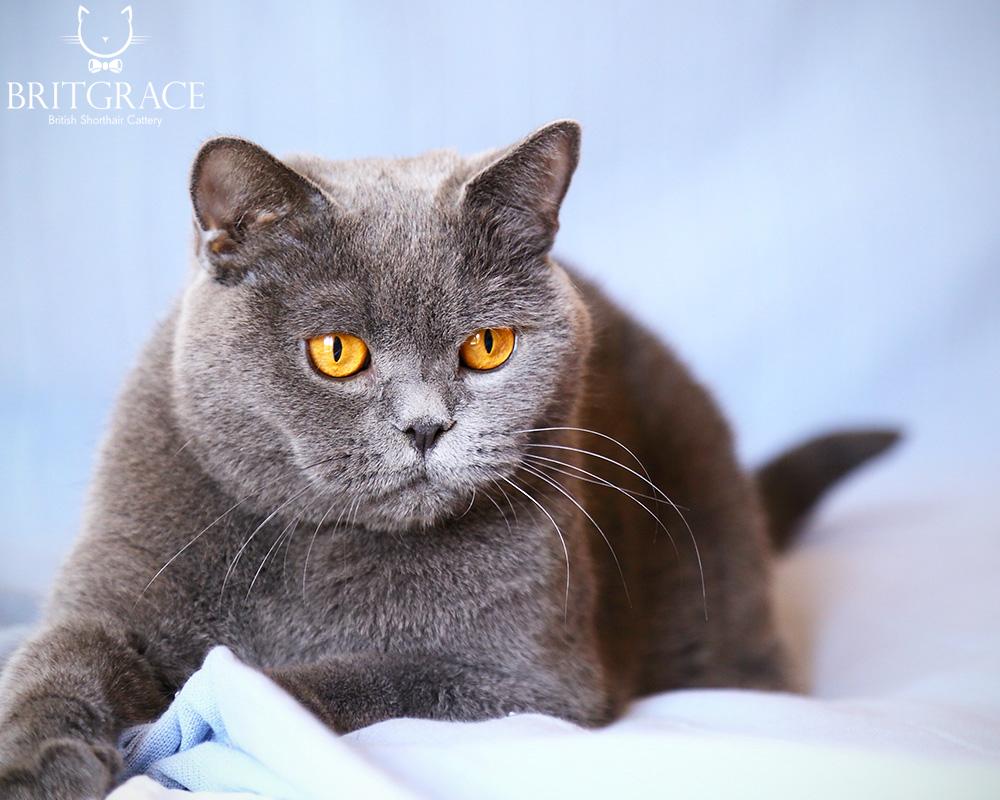 CH Lambent Bijon Wonderfleur RU British cats Britgrace cattery