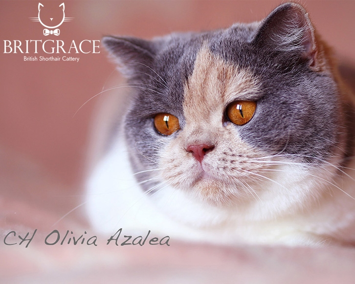 gatto british shorthair tricolore