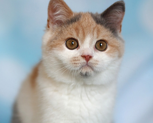 british shorthair tricolore