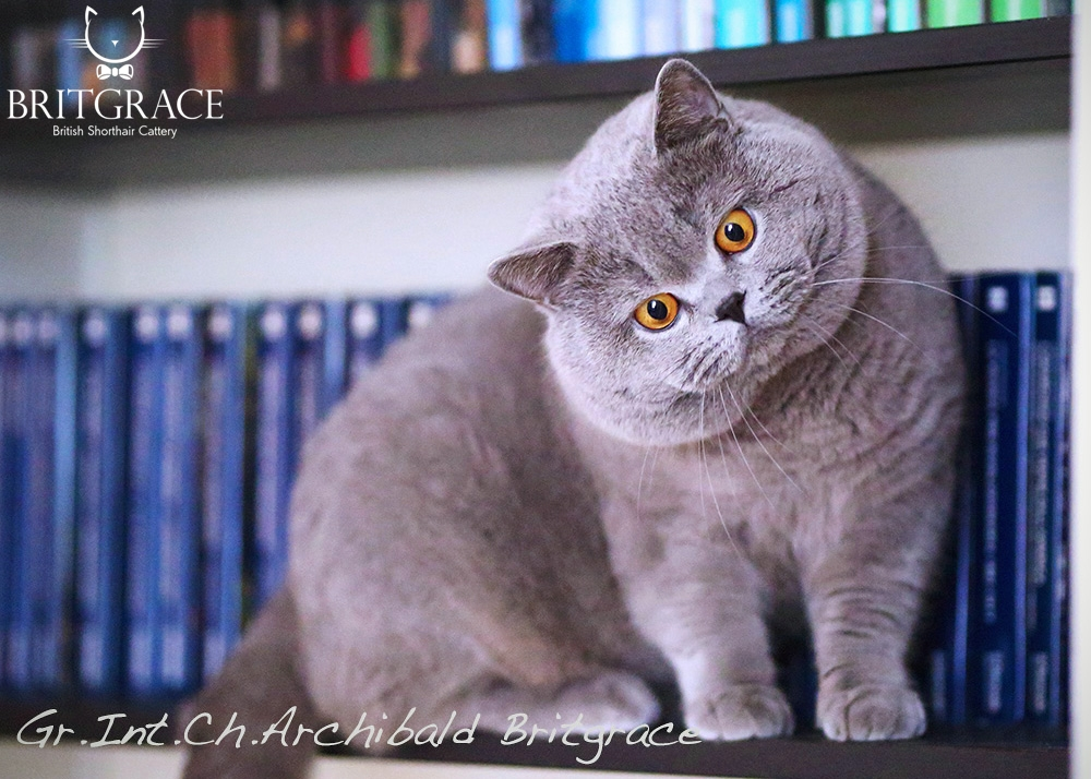 cat british shorthair blue